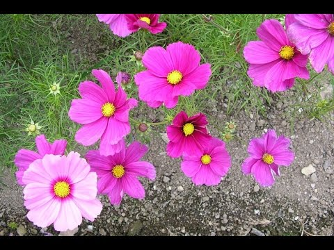 annual flowers - annual flowers and perennial flowers