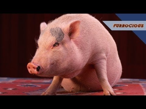 Pot-Bellied Pigs are Loud and Aggressive