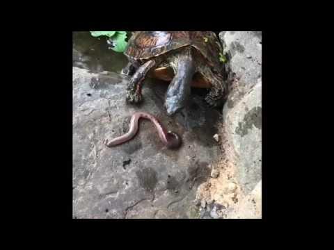 Turtle Feeding- Ornate Wood Turtles