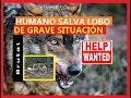 Lobo | ayudado por humano | en situación muy complicada