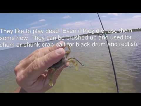 How to: Hook a blue crab that stays alive
