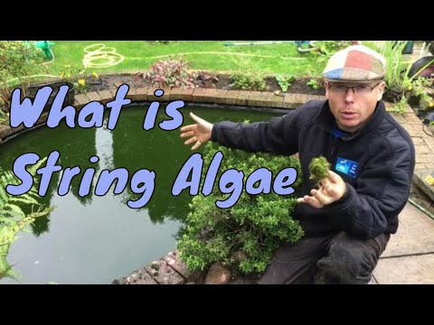 What is String Algae or What is Blanket Weed | Any Pond Limited | UK