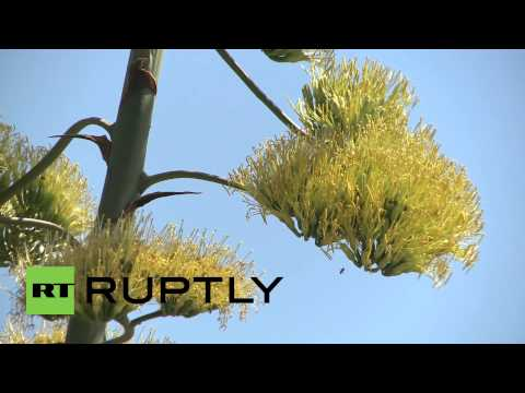 Russia: This plant takes three decades to flower...then dies