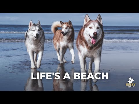 Huskies Playing At The Beach