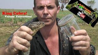 King Cobra Venom Extraction - Awesome Animals TV! - Corey Wild