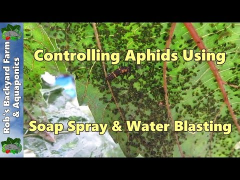 How to kill Aphids using a natural liquid soap spray & water blasting..