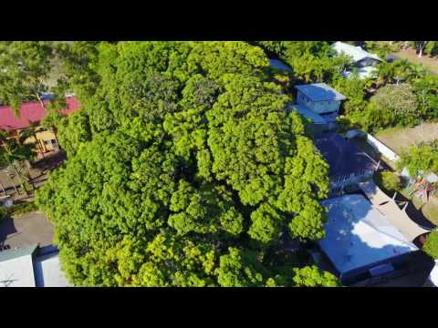 Flying over 100 old mango trees
