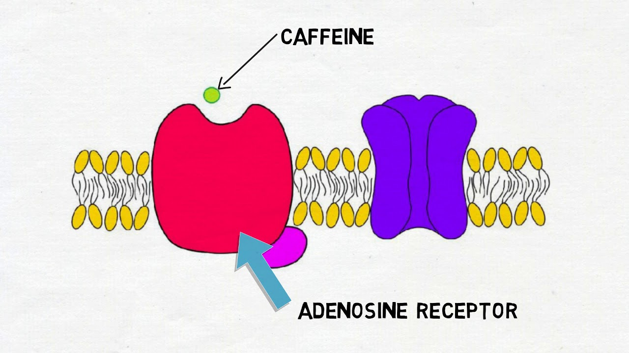 Download 2-Minute Neuroscience: Caffeine MP3 Gratis