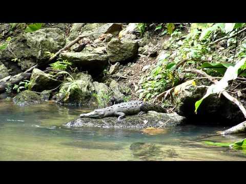 Cocodrilo Parque Nacional Corcovado ( COSTA RICA)
