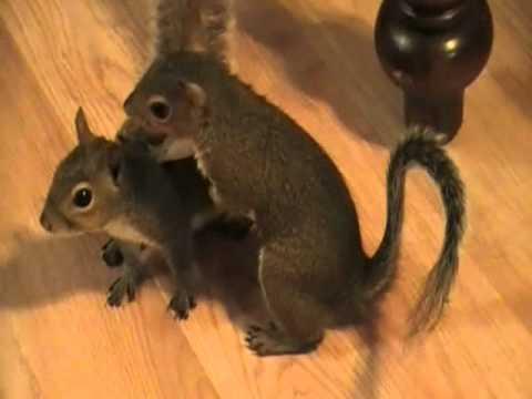 Pet Squirrels Playing