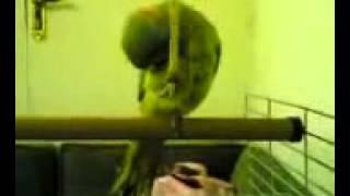 Das Schiitentum   Aschura Papagei