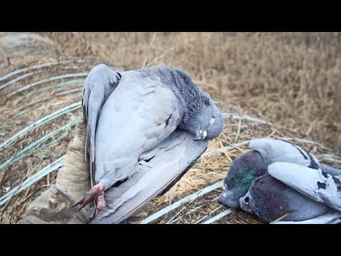 Pigeons ARE Delicious! | New Years Pigeon & Dove Hunt and Cook