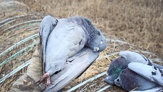 Download Pigeons ARE Delicious! | New Years Pigeon & Dove Hunt and Cook Video