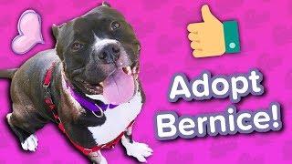 Adopt Bernice // Mini Pitbull // Adoptable Featurette