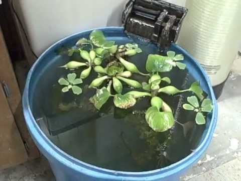 Goldfish - Koi- Time to Move Fish- Overwinter Water Plants  Indoors-Use The Water To Feed My Plants