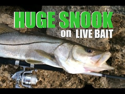 How to Catch Big Florida  Snook Using  Pinfish For Live Bait