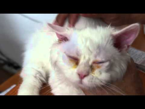 How to put ear and eye drops in the Persian cat Pt 2