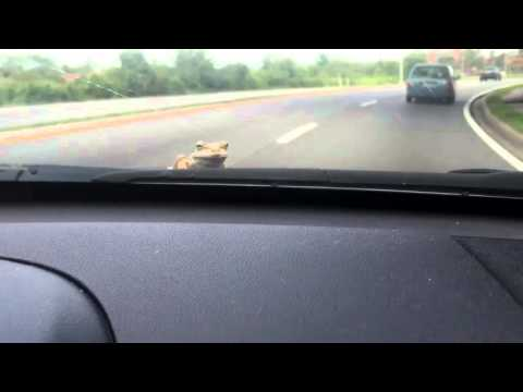 Frog on Car Hood