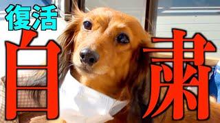 【自粛犬】緊急事態宣言における犬の気持ち5