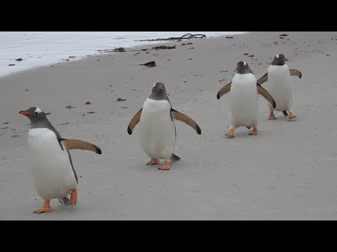 Penguins at the Beach Running, Jumping, and Playing in the Water + Sand!
