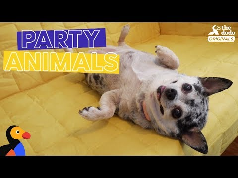 Obese Dog Throws HUGE PARTY for Reaching Weight Loss Goals | The Dodo Party Animals