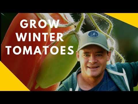 How to Grow Winter Tomatoes in a Mini Greenhouse
