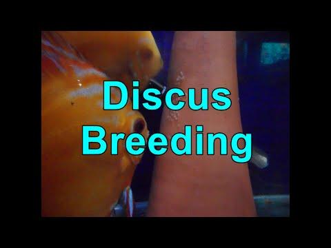 Discus Breeding & Discus Mating Behaviour