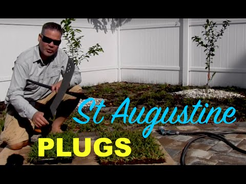 Making St Augustine Grass Plugs From Sod :: Palmetto St Augustine