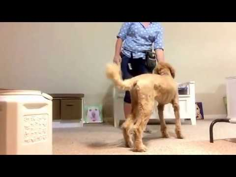 Seizure Response Service Dog Training 2