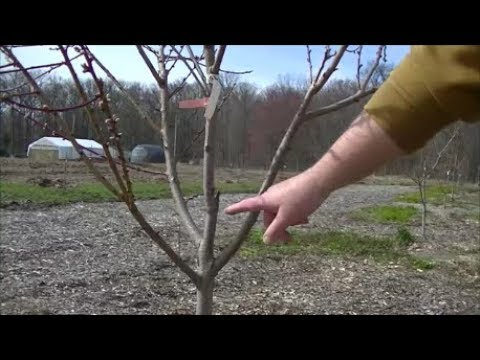 INCREASE the LIFE & HEALTH of your PEACH TREE by Pruning