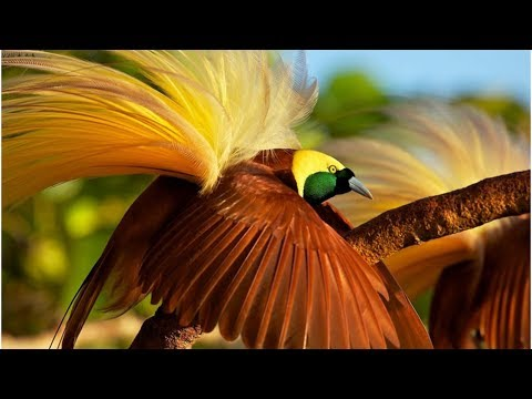 Birds of Paradise - Most Beautiful Birds In The World #03