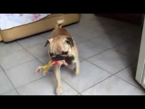 Pug dog playing with a peluche (Cane Carlino)