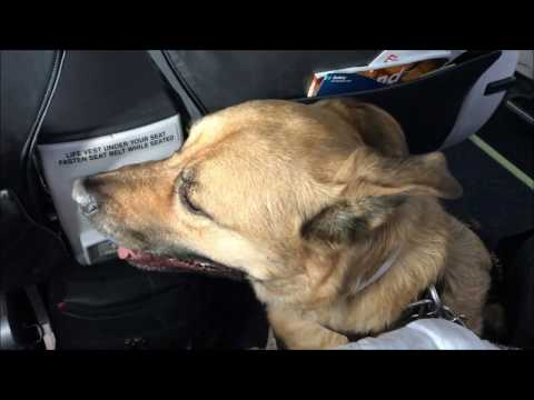 Luke The Service Dog Flying On Airplane