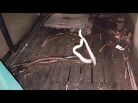 Wild python fight