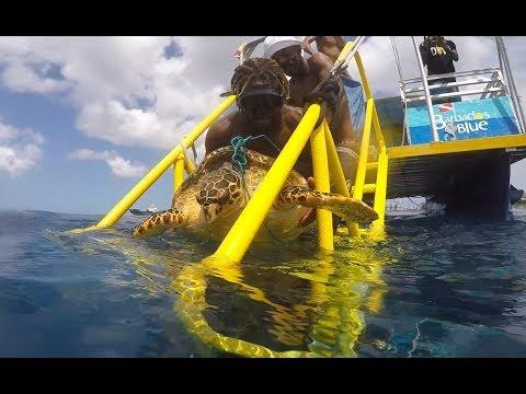 Sea Turtle Rescue - Female Hawksbill in Barbados
