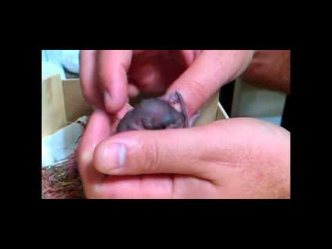 5 day old baby squirrel drinking milk