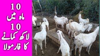 Rajanpuri Gulabi Bakra Farm Video - PlayKindle org