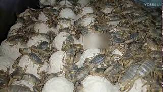 Download Amazing ! A scorpion farm Video