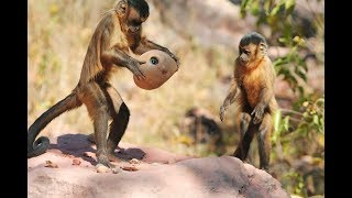 Monkey Cracks Nut - what could go wrong?
