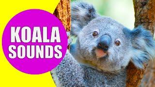 KOALA SOUNDS | Learn Animals with Kiddopedia #Shorts