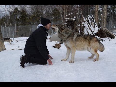 Man Welcomed by PACK OF WOLVES America's Canine Educator