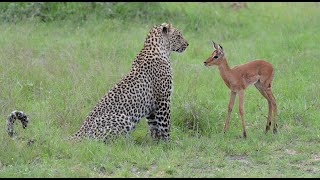 Incredible footage of leopard behaviour during impala kill - Sabi Sand Game Reserve, South Africa