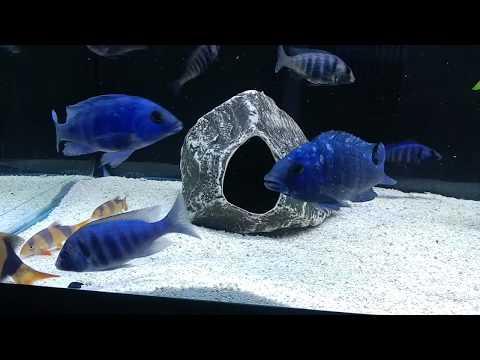 Malawi cichlids tanks updated!
