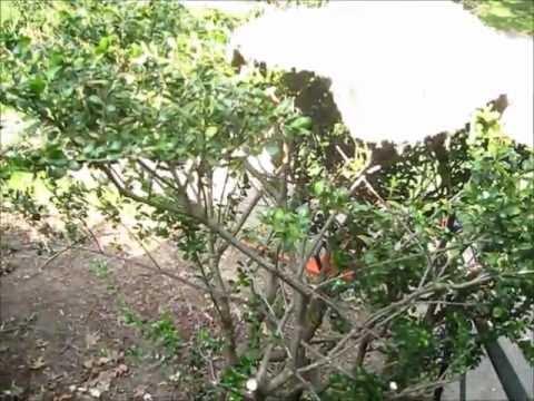Extreme Rejuvenation Pruning of overgrown shrubs