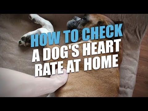 How to Check a Dog's Heart Rate At Home (Accurate Method)