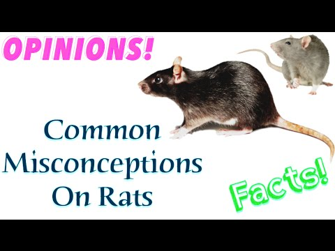Common Misconceptions On Rats!