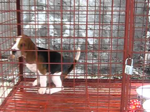 Beagle Puppy Poop!