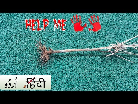 REVIVE A DYING PLANT: Tips/Hacks | How to: Plant Dead or Alive? | Save a dead plant - Hindi Urdu
