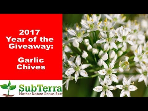Garlic Chives - Food, Medicine and Beneficial Insects! ** Giveaway video **