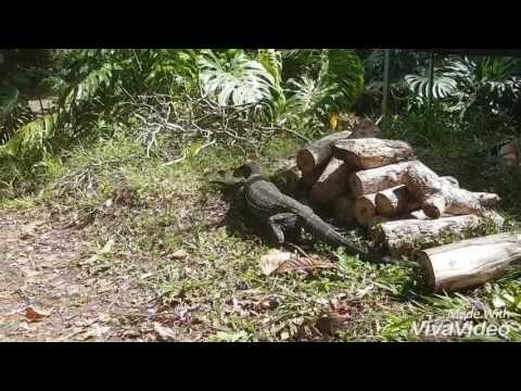Goannas mating